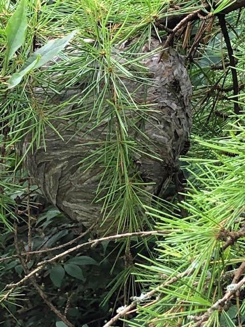 Wasps nest Photo 1